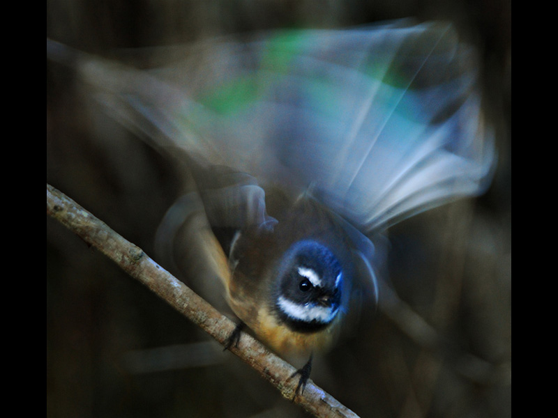 Dance of the Fantail